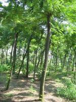 樸樹.合歡.欒樹.構樹.垂柳.紫藤,香樟.廣玉蘭.丁香.紅繼木