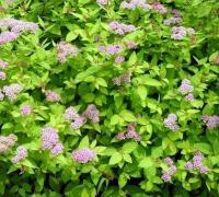 红花绣线菊、金山绣线菊、金焰绣线菊、白玉簪、紫萼玉簪.蝴蝶兰