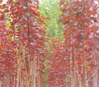 红叶杨基地:意杨.杨树苗、红叶杨