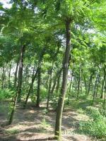 朴树.合欢.柿树.白腊、乌桕,桂花,香樟,刺槐.青桐、大叶女贞