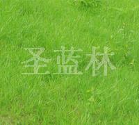 白三叶/红三叶/杂三叶草种批发