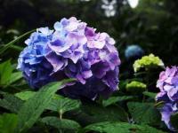 花叶八仙花