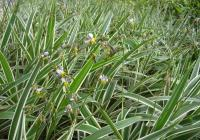 花叶玉带草