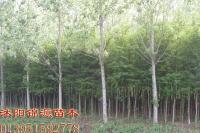 落羽杉小苗、水杉小苗造林苗、快乐赛车苗