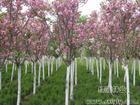 .红瑞木.白玉簪、紫萼玉簪、蝴蝶兰.金叶麦冬草.红叶石楠.