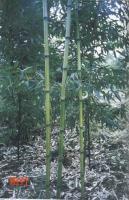 刚竹、早园竹、红竹
