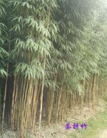 淡竹、四季竹、茶杆竹