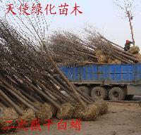 供应白蜡、惠民白蜡种植基地,滨州白蜡价格