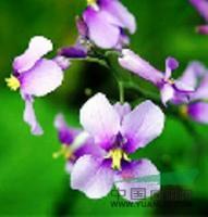 草花種子(二月蘭/野菊花/波斯菊/金雞菊/黑心菊/紫花地丁)