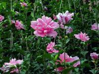 金银花.枸杞.紫荆.紫薇.连翘.迎春.木槿.樱花、垂梅、贴梗