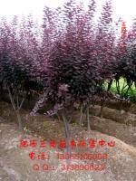 红叶李、桂花、国槐