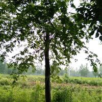 江苏榉树.百日红.法桐.垂柳.合欢.栾树.高杆女贞.紫薇