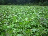 马褂木湿地松枫香木荷杜英桤木檫树紫薇桂花罗汉松红豆杉小苗
