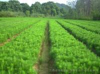 湿地松马褂木枫香木荷桤木杜英檫树紫薇桂花罗汉松红豆杉小苗