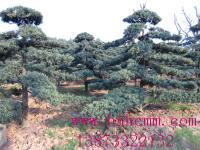 榆树桩 红花桎木桩 造型罗汉松