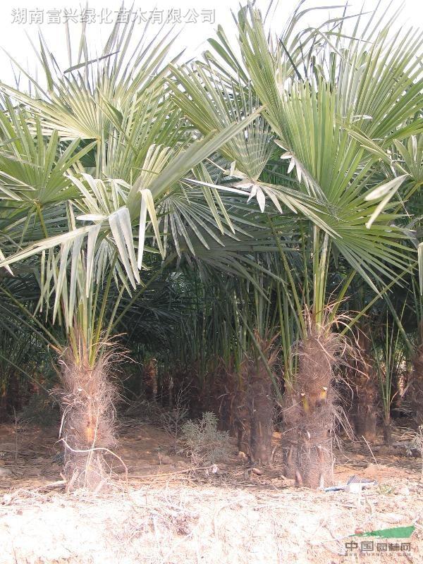 江苏地区花木/黄山栾树(灯笼树)棕榈,金丝楠木,喜树,榉树等