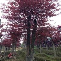 湖南红枫3-4-5-6-8-10-12-15-20-公分红枫