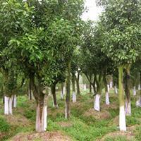 香泡8-10-15-18-20湖南香泡树柚子树香橼