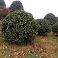 供冠幅80-100-120-150-180-200公分茶花球