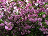 樱花、乐东拟单行木兰、红花木莲、桂花等绿化快乐赛车玩法