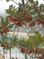 红花荷(红苞木)种子