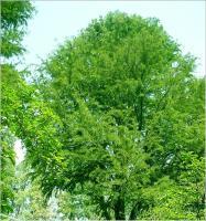 北美落羽杉