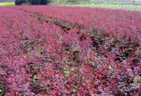 金叶女贞,红叶小檗,红王子锦带,洒金柏,蜀桧,龙柏,红叶石楠