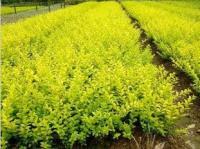 红叶小檗、金叶女贞、洒金柏、金叶小檗、木芙蓉.亮绿忍冬