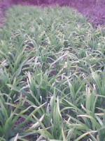 葱兰、麦冬、金边麦冬、玉簪、红花酢浆草