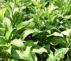 玉簪、鳶尾、萱草、金葉麥冬、美人蕉地被月季,紅花草、