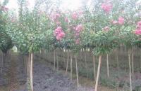 火棘、迎春、木槿、红花紫薇、金叶女贞、瓜子黄杨、大,小叶黄杨