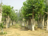 銀杏、法國梧桐、黃連木、青桐、櫸樹、樸樹、楓楊,烏桕