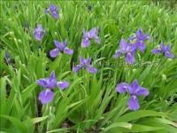 沿阶草、葱兰、麦冬、金边麦冬、玉簪、红花酢浆草