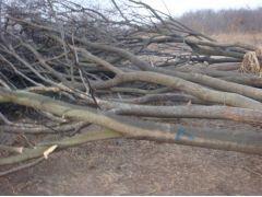 供应8-30公分榉树