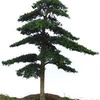 绿化造型罗汉松