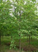 美国水栎、美国紫树、美国红橡