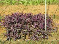 紫叶鸭趾草、紫露草