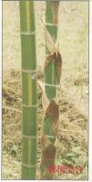 花毛竹、黄槽毛竹、黄秆绿筋竹