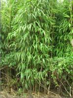 茶杆竹、哺鸡竹、慈孝竹