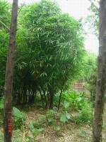 佛肚竹、高节竹