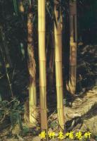 黄杆乌哺鸡竹、鸡毛竹、黄槽毛竹、橄榄竹
