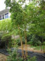 桂竹、花毛竹、水竹、苦竹、绿皮黄筋竹、黄间竹