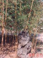 黄杆京竹、黄壳竹、黄古竹、少穗竹