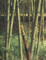 高节竹、佛肚竹、红竹