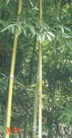 黄纹竹、黄古竹、苦竹