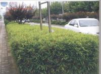 狭叶倭竹、铺地竹