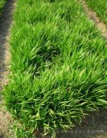 草本植物(吉祥草、虎耳草、醉鱼草、玉簪、紫露草、垂盆草、紫叶酢浆草)