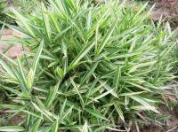 铺地竹、菲白竹、罗汉竹、碧玉间黄金竹、黄纹竹、茶杆竹、小琴丝竹、苦竹