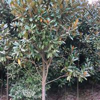 湖南廣玉蘭樹 玉蘭價格 移栽廣玉蘭 廣玉蘭價格