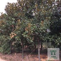 湖南广玉兰树5-6-8-9-10-12-15-18公分广玉兰